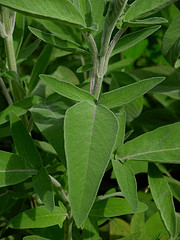/uploaded/salvia fruticosa.jpg
